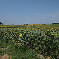 20130816_sanbongisunflower_001