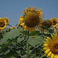 20130816_sanbongisunflower_002