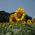 20130816_sanbongisunflower_003