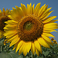 20130816_sanbongisunflower_004