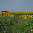 20130816_sanbongisunflower_006