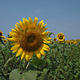 20130816_sanbongisunflower_007