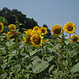 20130816_sanbongisunflower_008