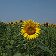 20130816_sanbongisunflower_009