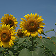20130816_sanbongisunflower_010