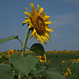 20130816_sanbongisunflower_011