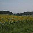 20130816_sanbongisunflower_012