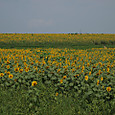 20130816_sanbongisunflower_013