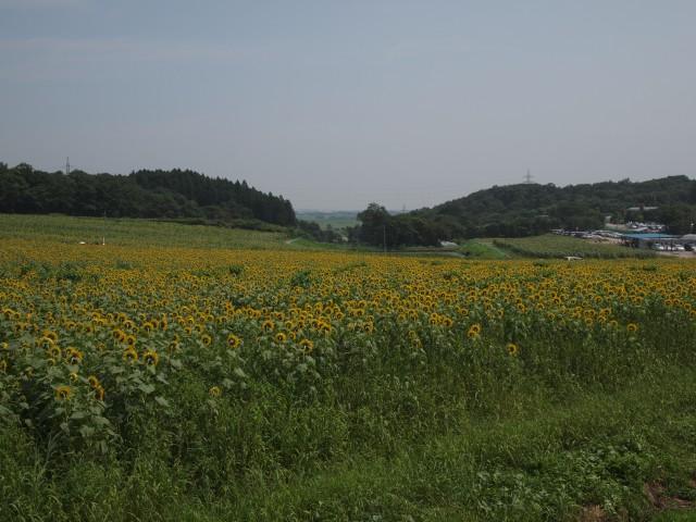 20130816_sanbongisunflower_012